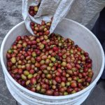 Coffee cherries fresh from the harvest, prior to husking