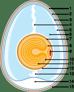 Anatomy of an Egg - Wikipedia