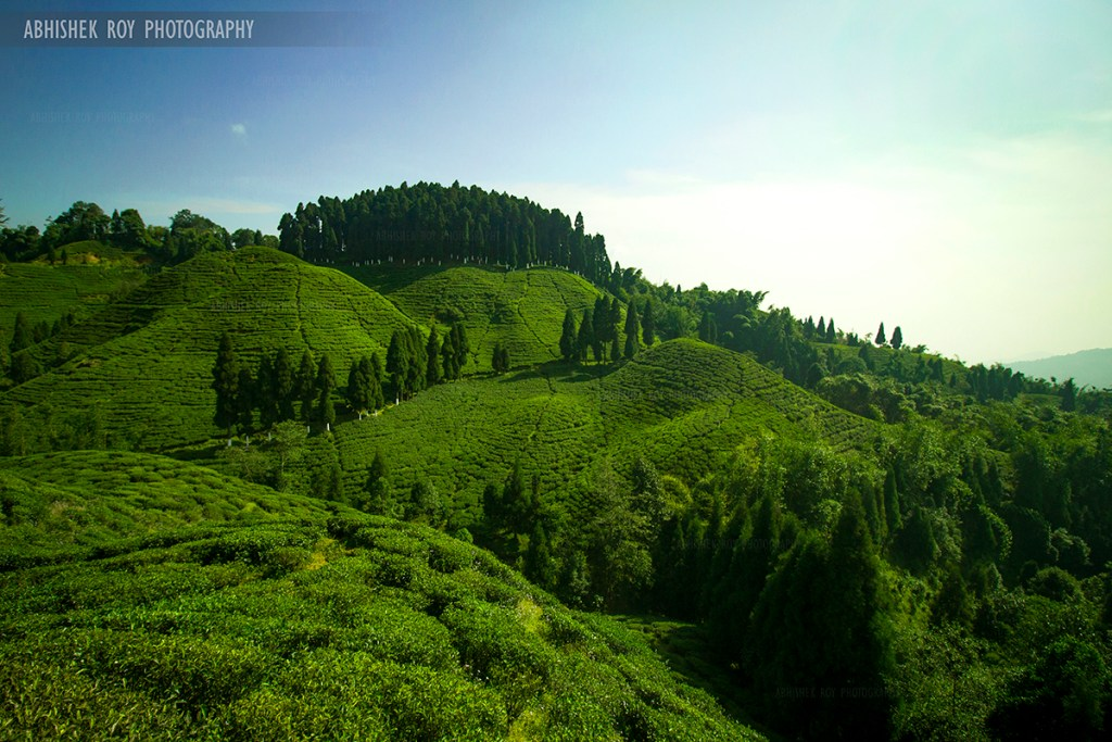 Tea Garden, Mirik, Abhishek Roy Photography