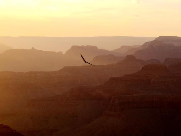 oiseau grand canyon