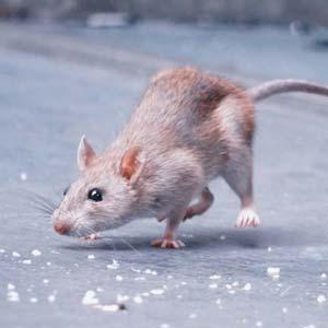 Rodent Rat