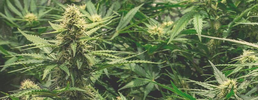 自動開花大麻による最大収量