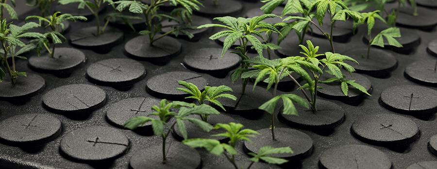 Clone cutting marijuana plant