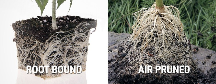 Root bound vs air pruned roots of a cannabis plant, Cannabis growers forum & community, How to grow cannabis, how to grow weed, a step by step guide to growing weed, cannabis growers forum, need help with sick plant, what's wrong with my cannabis plant, percys Grow Room, the Grow Room, percys Grow Guides, we'd growing forum, weed growers community, how to grow weed in coco, when is my cannabis plant ready for harvest, how to feed my cannabis plant, beginners guide to growing weed, how to grow weed for personal use, cannabis plant deficiency, how to germinate cannabis seeds, where to buy cannabis seeds, best weed growers website