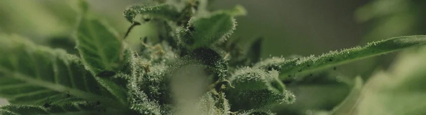 大麻の病気