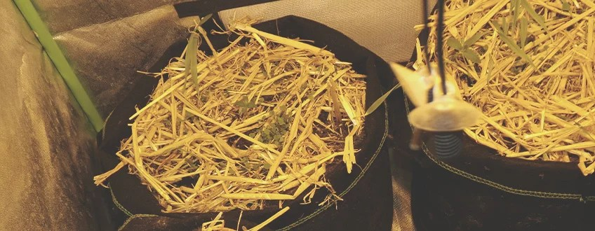 屋内で大麻植物にマルチを適用する方法と時期