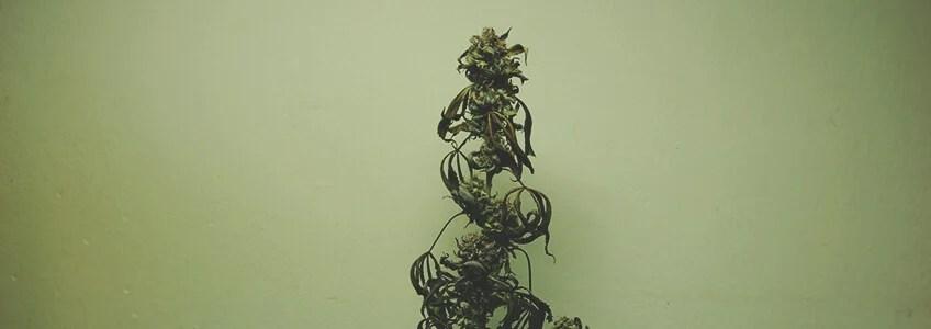 大麻植物の栄養素の燃焼