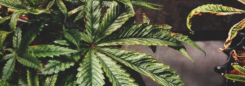 大麻植物の過給