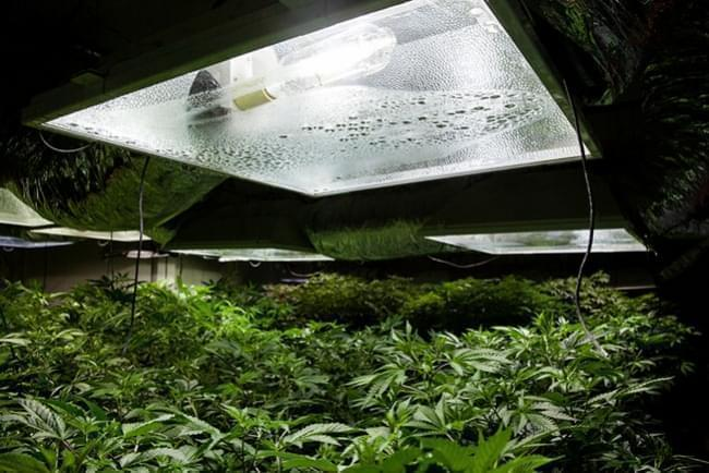 Indoor Cannabis Growing Relative Humidity And