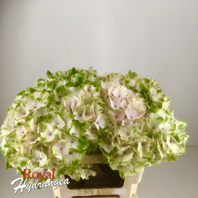Royal Hydrangea Magical Emerald Classic