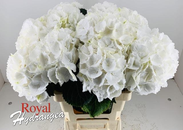 Snowball - Snij Hortensia - Royal Hydrangea