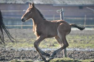 keystud.2015.foal.F-oneUSA.