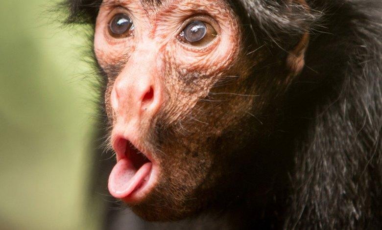 Druida em sua forma de macaco