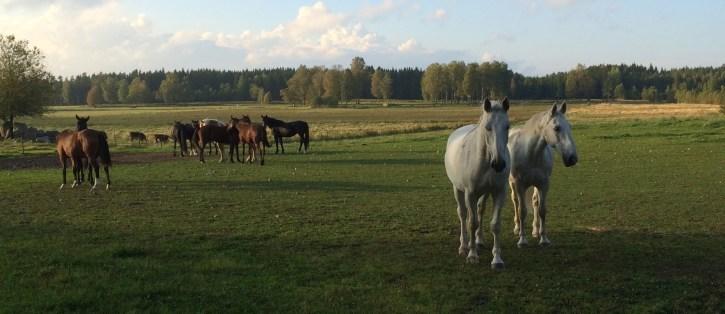 fria hästar i brett format.