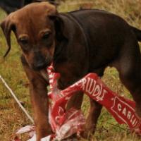 Výchova psího dorostu