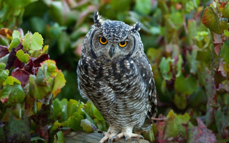 Spotted Eagle Owl (Bubo africanus) in vineyard