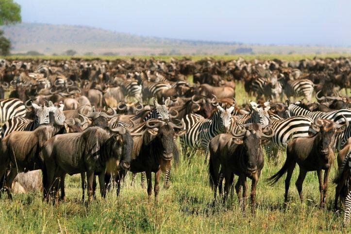 Termietkolonies, superorganismes en wildebeeste