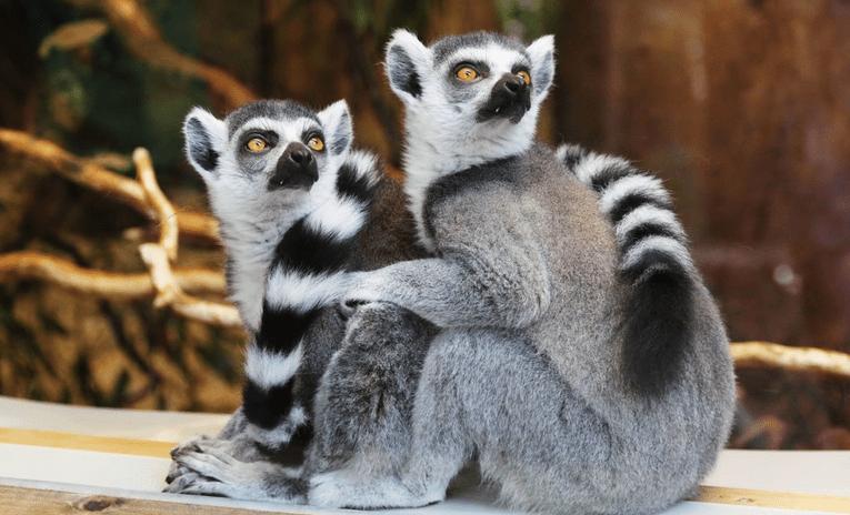 Hoekom geen Lemurs in Afrika?