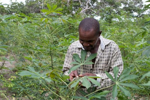 cassava cgiar - 1024×683