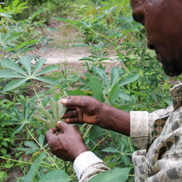 cassava cgiar - 1000×1000