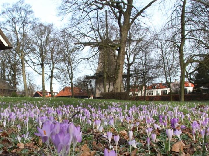 Het is lente: krokussen Santpoort-Noord in volle bloei