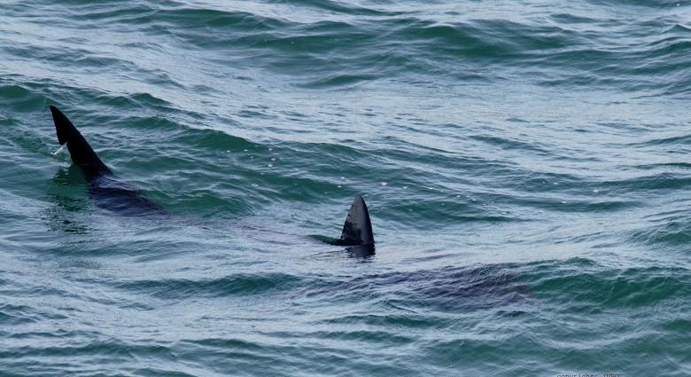 Reuzenhaai gespot voor de kust