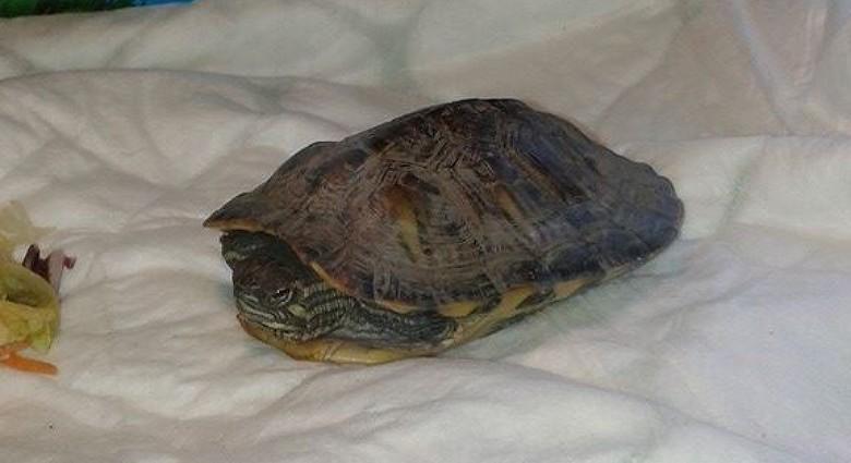 Schildpad gevonden in IJmuiden