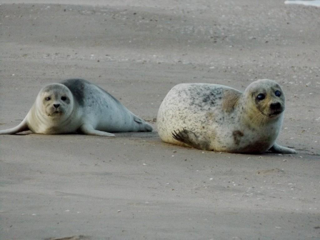 Zeehonden steeds vaker te zien