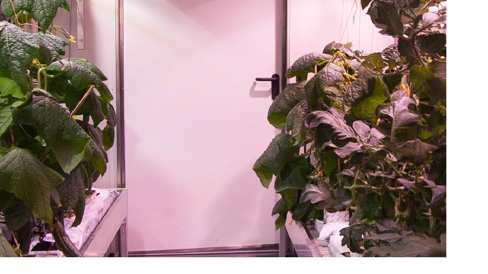'Komkommer kopen die in kelder groeit'