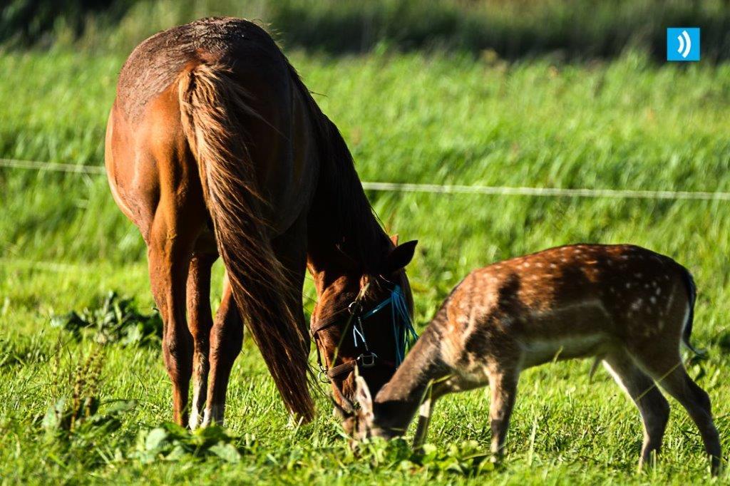 Hert voegt zich bij grazende paarden