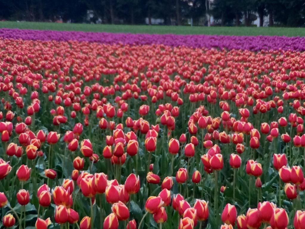 Mount Vernon Tulip Festival