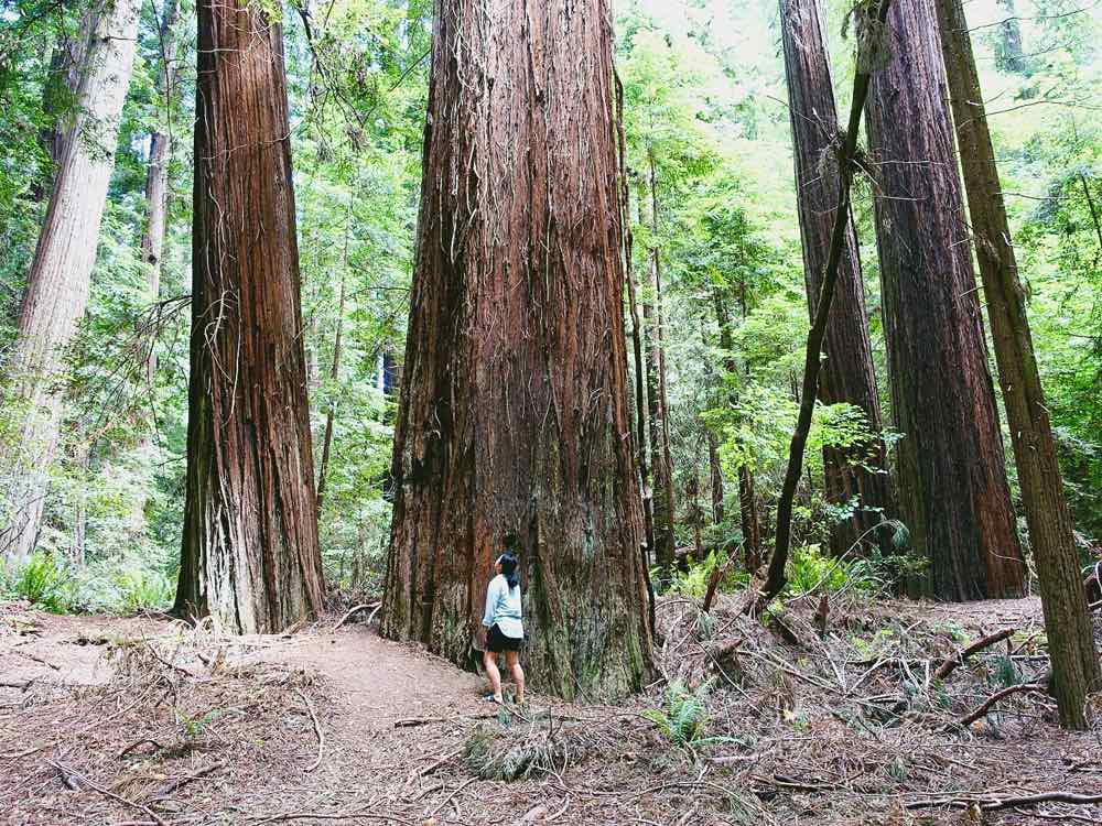 Avenue of Giants California
