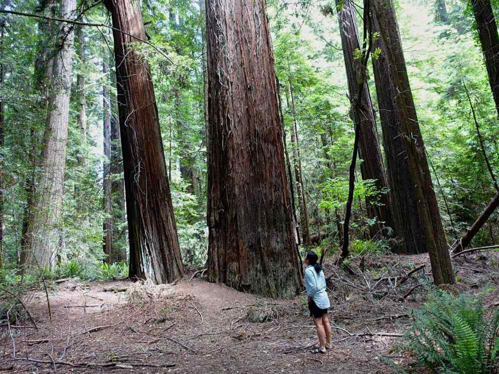 Avenue of Giants in NorCal - California Road Trip