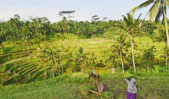 Tegallalang Rice Terraces In Ubud Bali | www.rtwgirl.com