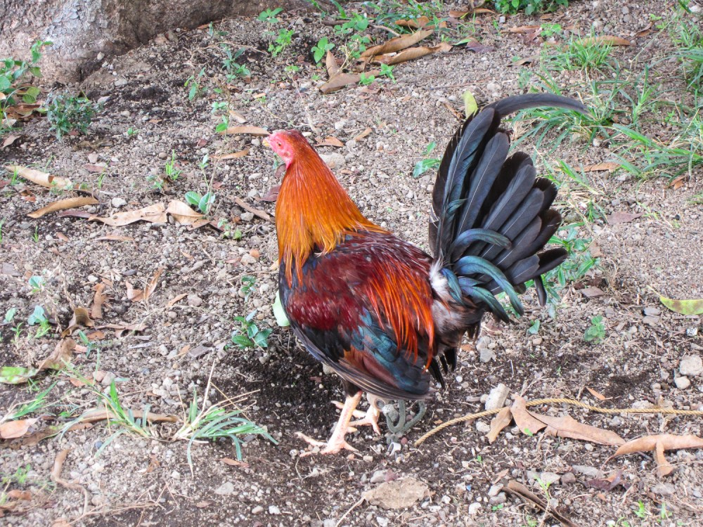 Rooster At Mount Taal