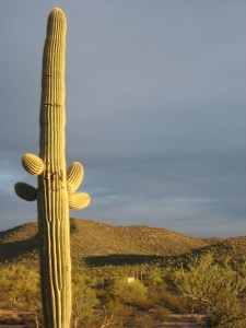 Saguaro in the afternoon light.