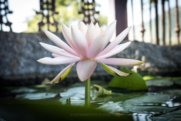 A lotus flower, with resiliency it emerges out of the murky water.