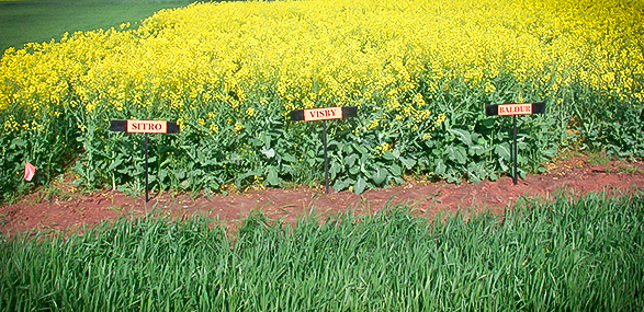 Non-GMO Canola Hybrid Photos Across Multiple U.S. States