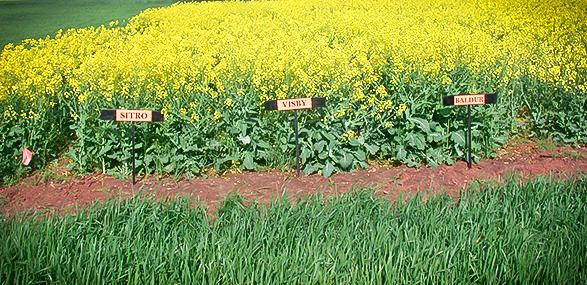 Non-GMO Canola Hybrid Photos Across Multiple U.S. States
