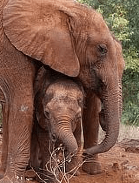 Ngilai, the elephant we adopted, is the smaller one in this photo.