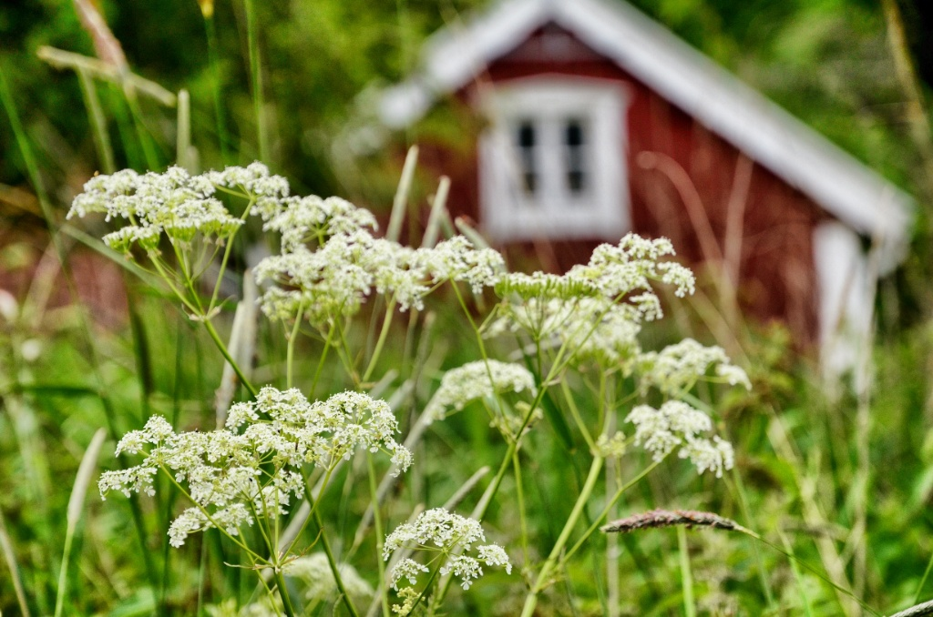 White flower and red cottage-Gränna-Sweden