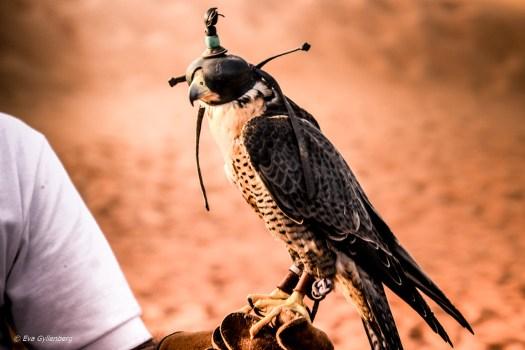 Falkenär - Dubai - UAE