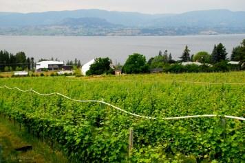 Kelowna-vingård