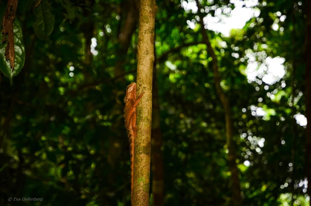 Boyd's forest dragon -Daintree-Queensland-Australien