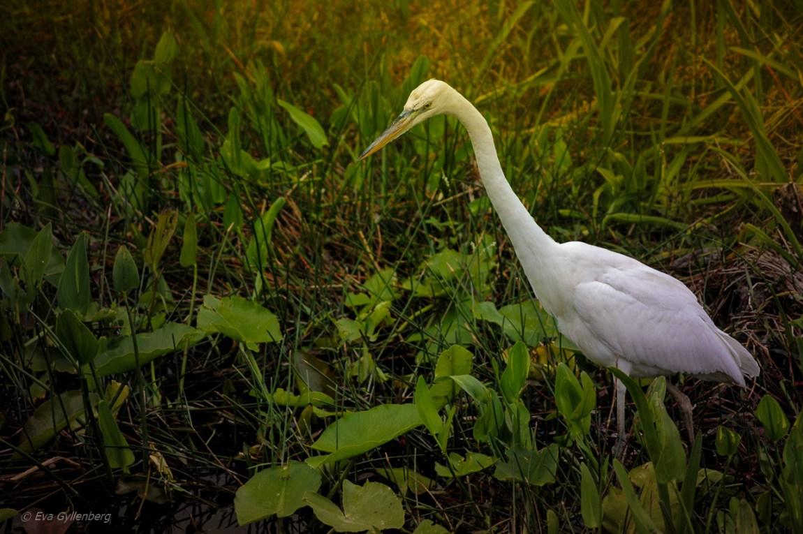 Everglades fågel