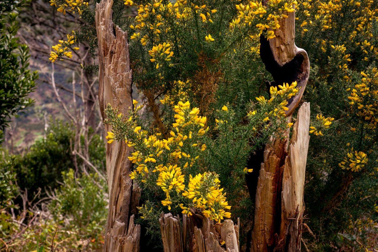 Blommande stubbar - Madeira