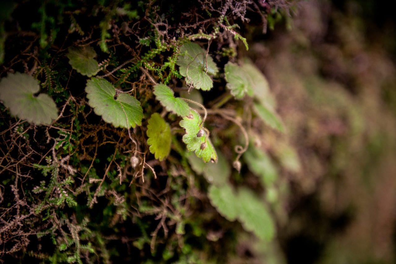 Grönska vid levadan - Madeira