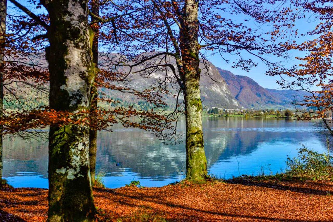 Träden vid Lake Bohinj - Slovenien