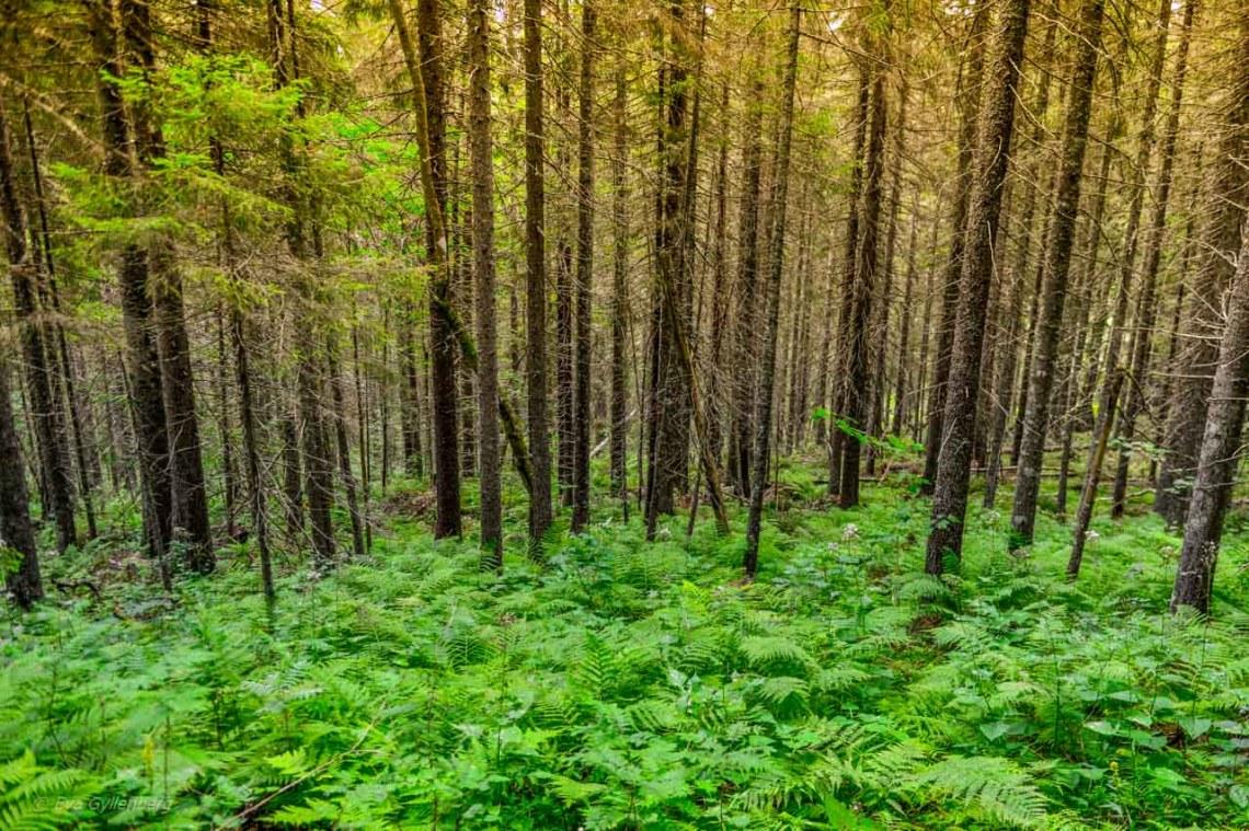 Lush spruce forest in Skuleskogen