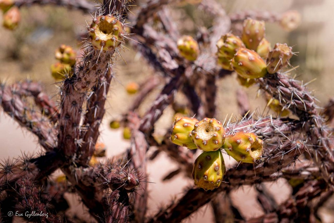 Prickly cactus with fruits